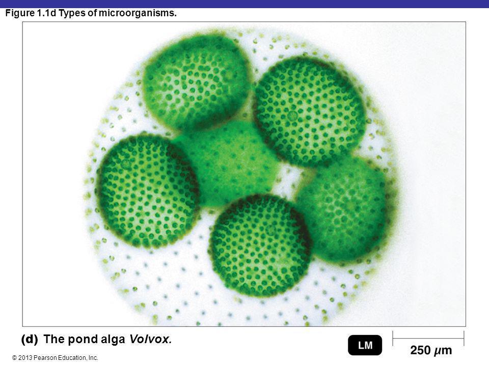 Figure 1.1d Types of microorganisms. © 2013 Pearson Education, Inc. (d) The pond alga Volvox.