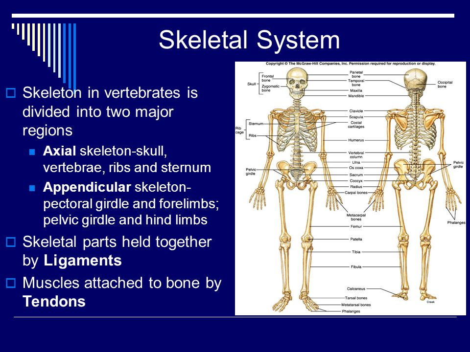 Skeleton in vertebrates is divided into two major regions Axial skeleton-skull, vertebrae, ribs and sternum Appendicular skeleton- pectoral girdle and