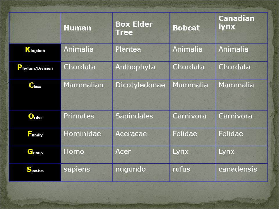 Human Box Elder Tree Bobcat Canadian lynx K ingdom AnimaliaPlanteaAnimalia P hylum/Division ChordataAnthophytaChordata C lass MammalianDicotyledonaeMammalia O rder PrimatesSapindalesCarnivora F amily HominidaeAceracaeFelidae G enus HomoAcerLynx S pecies sapiensnugundorufuscanadensis