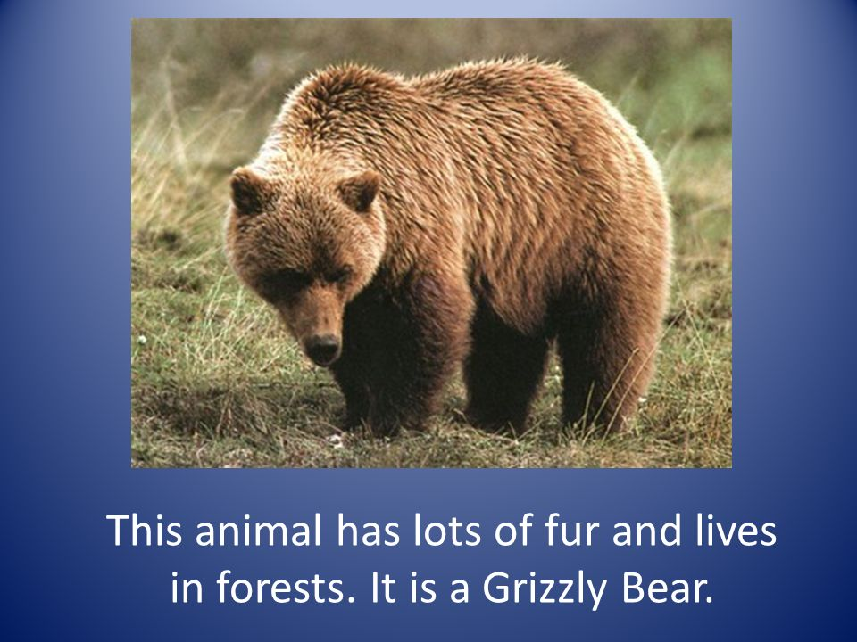 This animal has lots of fur and lives in forests. It is a Grizzly Bear.
