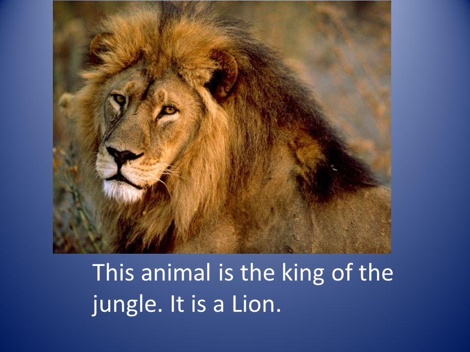 This animal is the king of the jungle. It is a Lion.