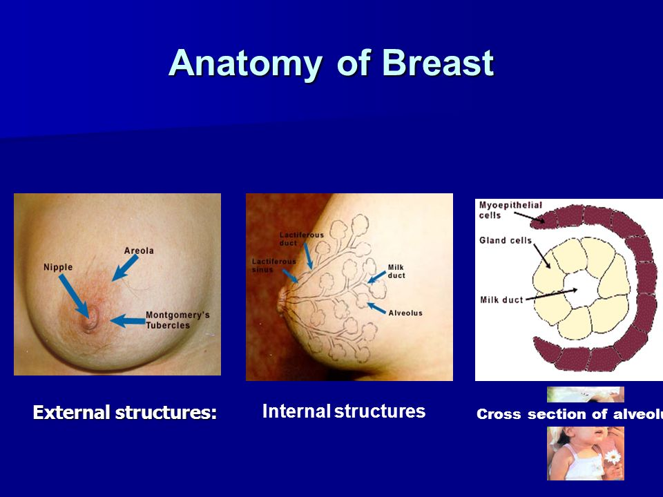 Anatomy of Breast Internal structures External structures: Cross section of alveolus
