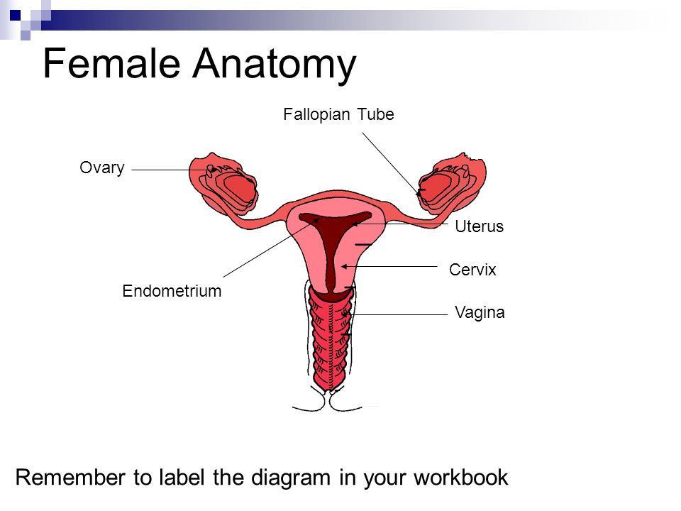 Female Anatomy Ovary Uterus Cervix Vagina Fallopian Tube Endometrium Remember to label the diagram in your workbook