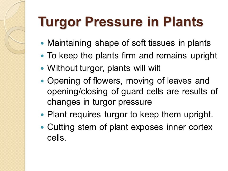 Turgor Pressure in Plants Maintaining shape of soft tissues in plants To keep the plants firm and remains upright Without turgor, plants will wilt Ope