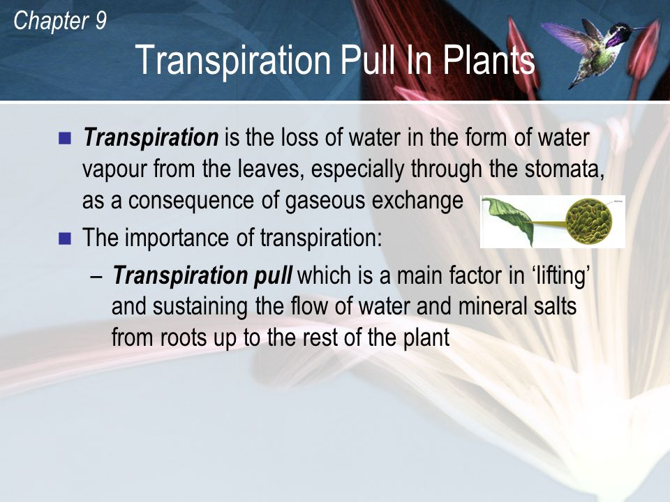 Chapter 9 Transpiration Pull In Plants Transpiration is the loss of water in the form of water vapour from the leaves, especially through the stomata,