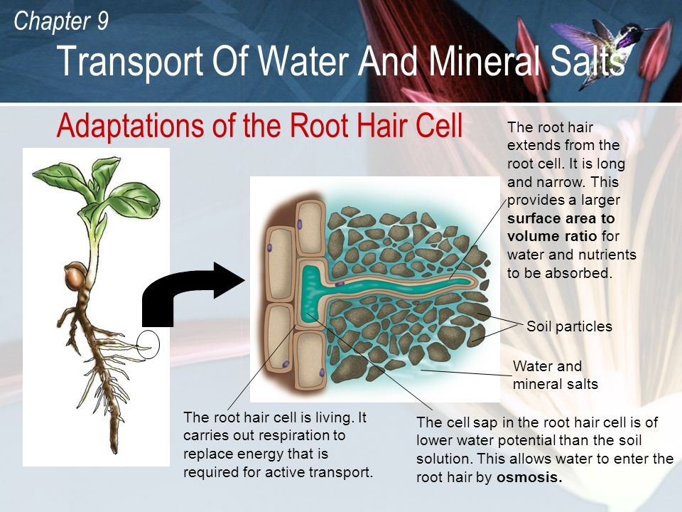 Chapter 9 Transport Of Water And Mineral Salts Adaptations of the Root Hair Cell Soil particles Water and mineral salts The root hair extends from the