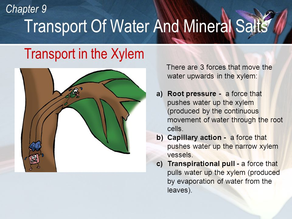 Chapter 9 Transport Of Water And Mineral Salts Transport in the Xylem There are 3 forces that move the water upwards in the xylem: a)Root pressure - a