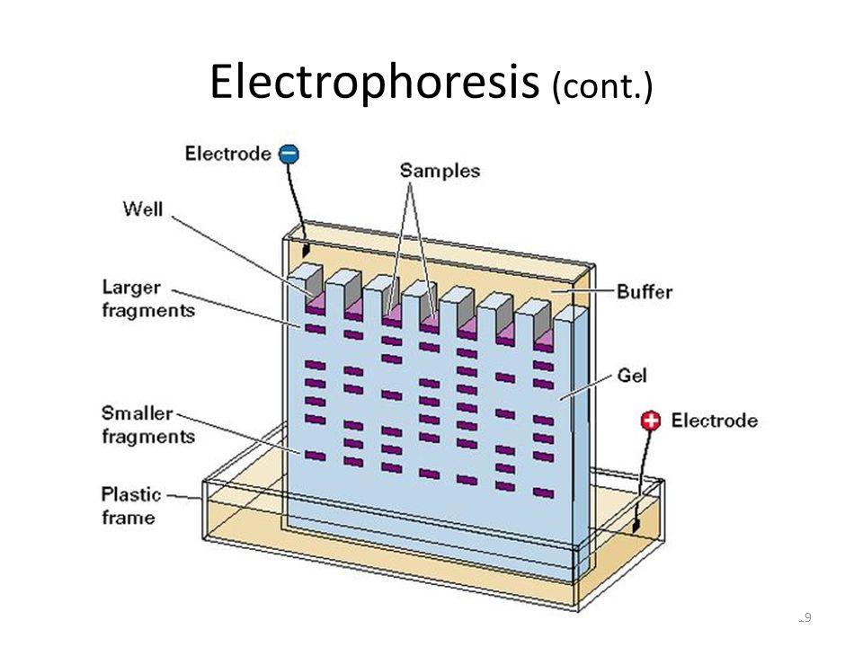 Electrophoresis (cont.) 19