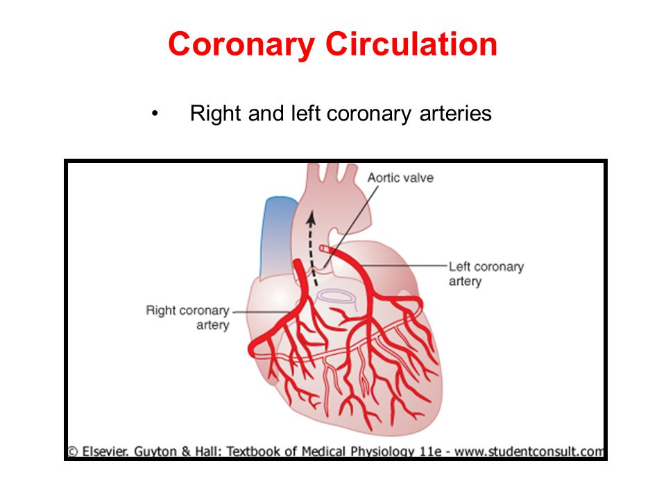 Coronary Circulation Right and left coronary arteries