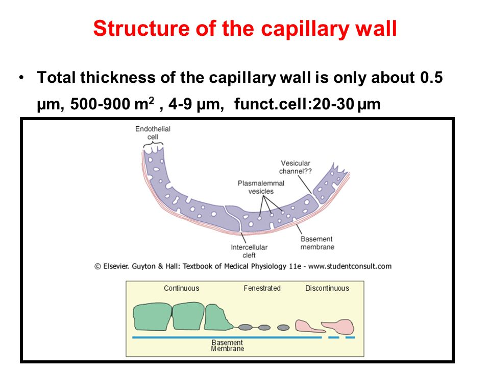 Structure of the capillary wall Total thickness of the capillary wall is only about 0.5 µm, 500-900 m 2, 4-9 µm, funct.cell:20-30 µm