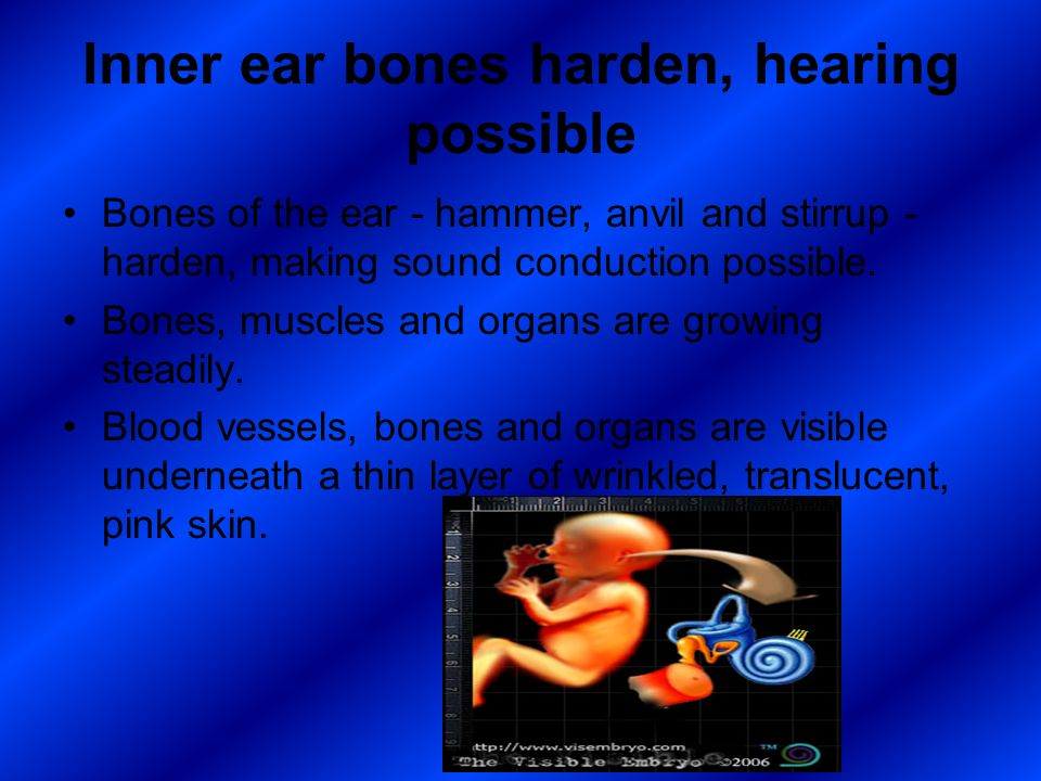 Inner ear bones harden, hearing possible Bones of the ear - hammer, anvil and stirrup - harden, making sound conduction possible. Bones, muscles and o