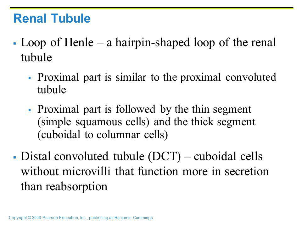 Copyright © 2006 Pearson Education, Inc., publishing as Benjamin Cummings Renal Tubule Loop of Henle – a hairpin-shaped loop of the renal tubule Proxi