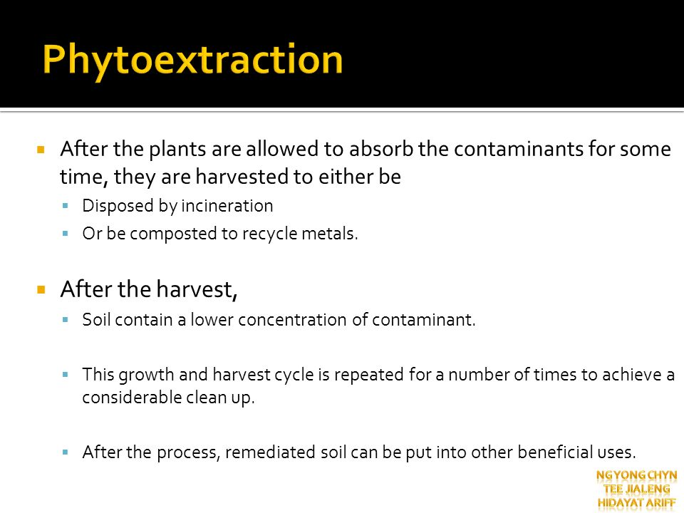 After the plants are allowed to absorb the contaminants for some time, they are harvested to either be Disposed by incineration Or be composted to rec
