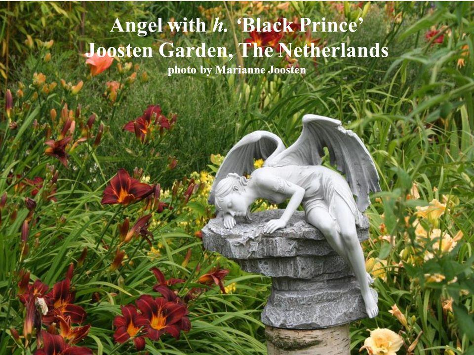 Angel with h. Black Prince Joosten Garden, The Netherlands photo by Marianne Joosten