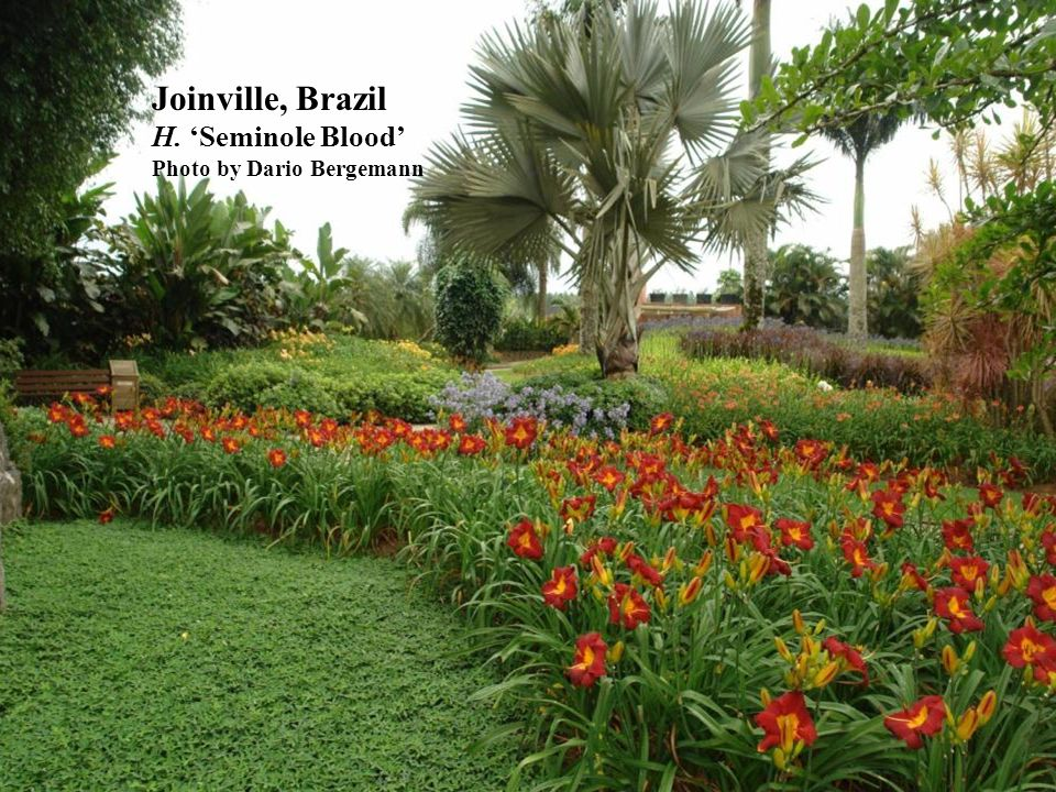Joinville, Brazil H. Seminole Blood Photo by Dario Bergemann