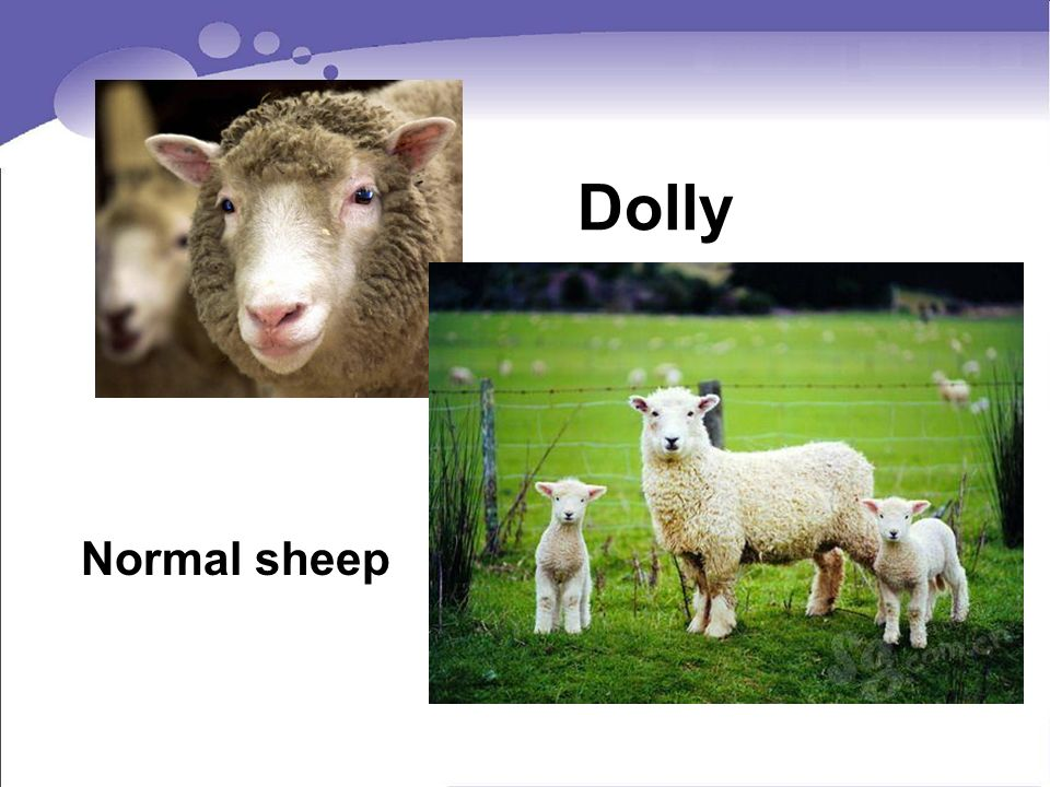 Dolly Normal sheep