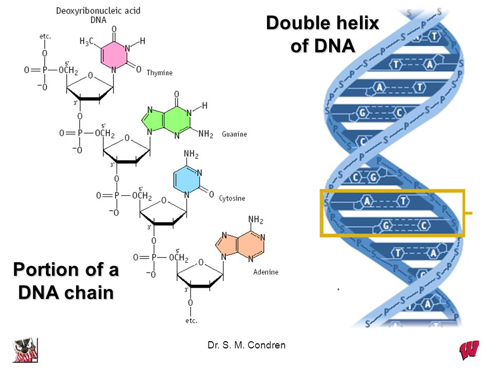 Dr. S. M. Condren Portion of a DNA chain Double helix of DNA