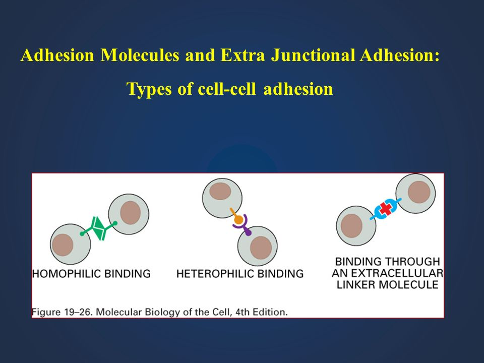 Adhesion Molecules and Extra Junctional Adhesion: Types of cell-cell adhesion