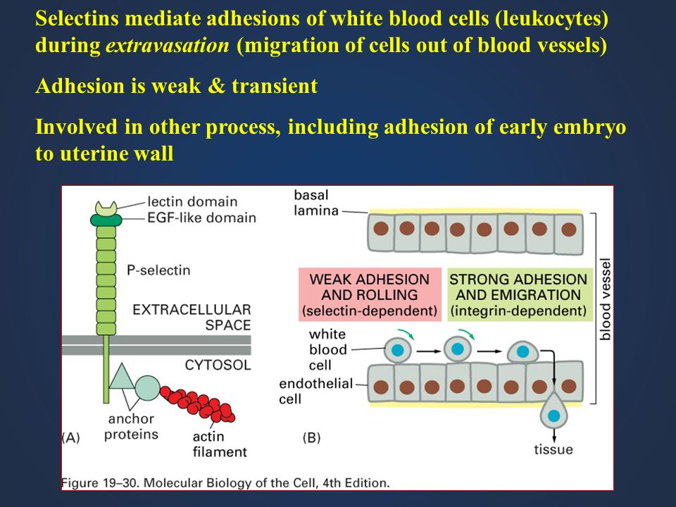 Selectins mediate adhesions of white blood cells (leukocytes) during extravasation (migration of cells out of blood vessels) Adhesion is weak & transi