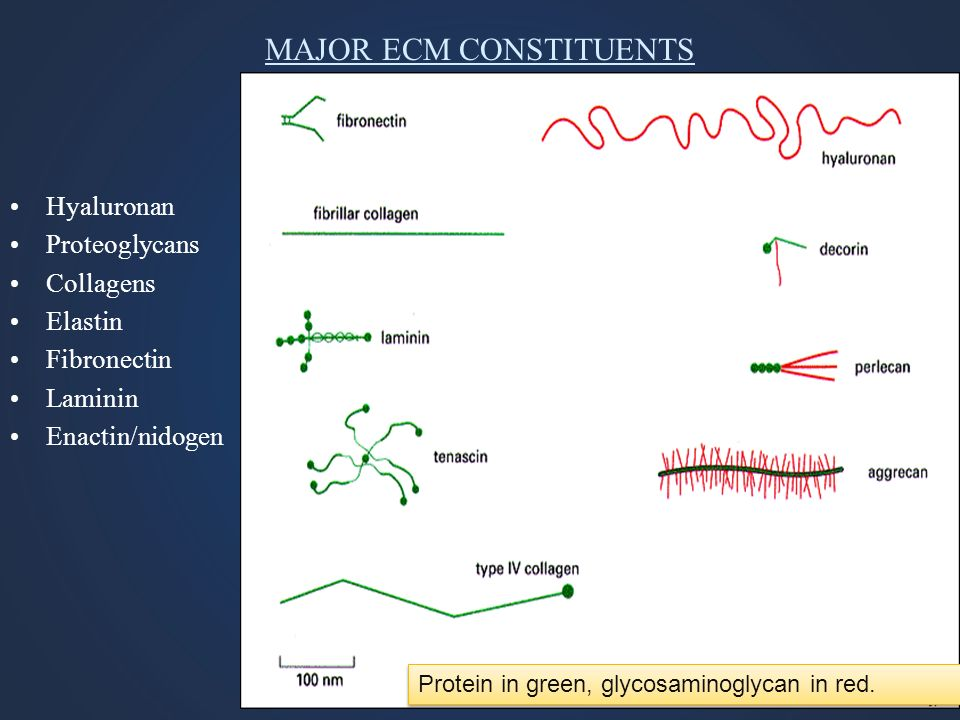 MAJOR ECM CONSTITUENTS Hyaluronan Proteoglycans Collagens Elastin Fibronectin Laminin Enactin/nidogen Protein in green, glycosaminoglycan in red.