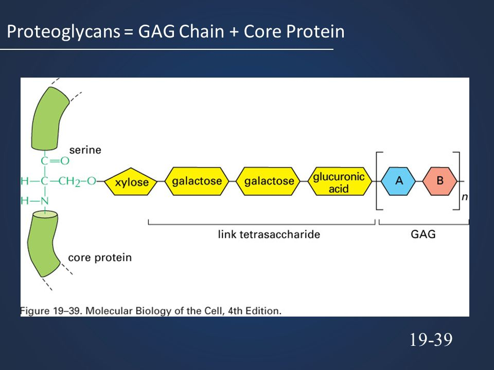 Proteoglycans = GAG Chain + Core Protein 19-39