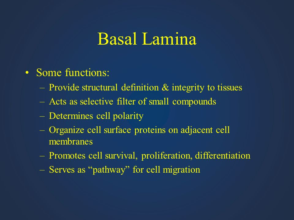 Basal Lamina Some functions: –Provide structural definition & integrity to tissues –Acts as selective filter of small compounds –Determines cell polar
