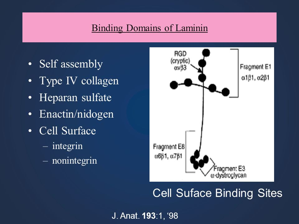 Binding Domains of Laminin Self assembly Type IV collagen Heparan sulfate Enactin/nidogen Cell Surface –integrin –nonintegrin J. Anat. 193:1, 98 Cell