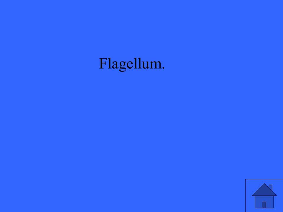 Flagellum.