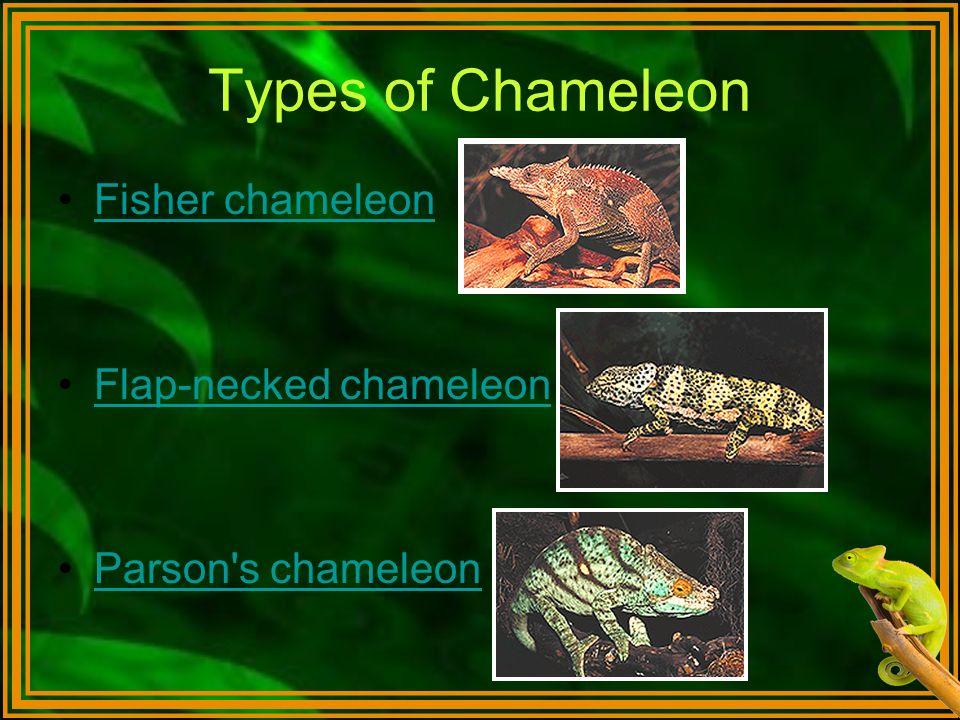Types of Chameleon Fisher chameleon Flap-necked chameleon Parson's chameleon
