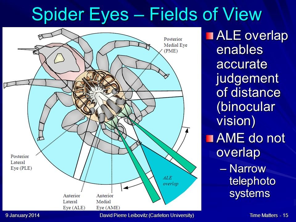 9 January 20149 January 20149 January 2014David Pierre Leibovitz (Carleton University)Time Matters - 15 Spider Eyes – Fields of View ALE overlap enables accurate judgement of distance (binocular vision) AME do not overlap –Narrow telephoto systems