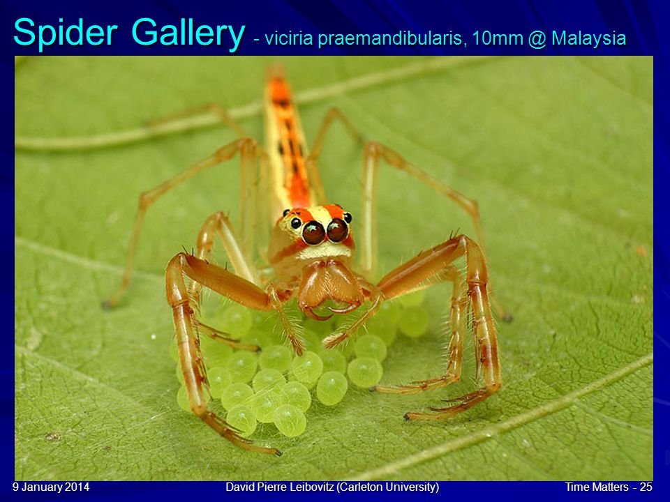 9 January 20149 January 20149 January 2014David Pierre Leibovitz (Carleton University)Time Matters - 25 Spider Gallery - viciria praemandibularis, 10mm @ Malaysia