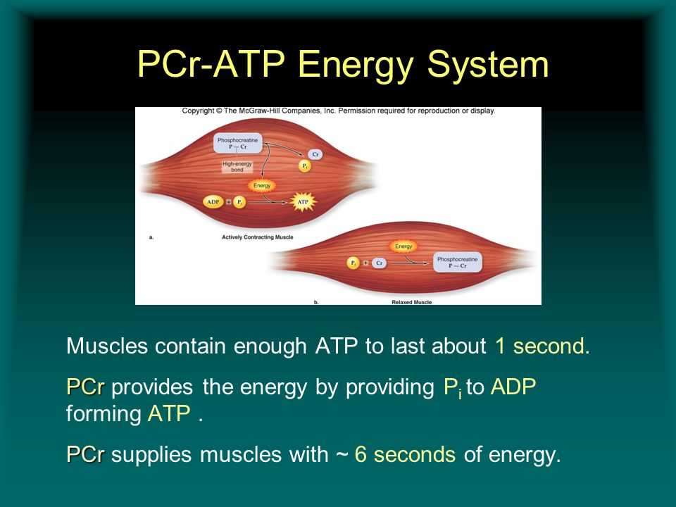 PCr-ATP Energy System Insert figure 11.8 Muscles contain enough ATP to last about 1 second. PCr PCr provides the energy by providing P i to ADP formin