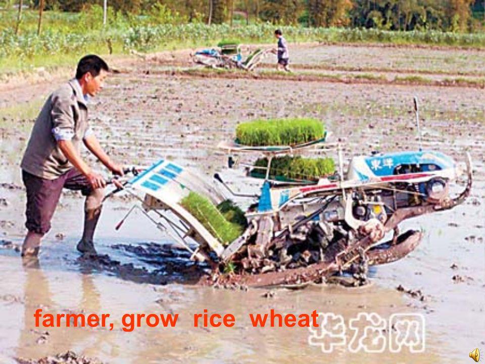 farmer, grow rice wheat