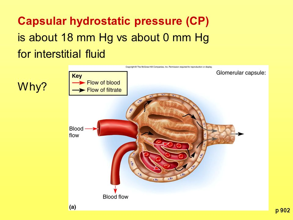 p 902 Capsular hydrostatic pressure (CP) is about 18 mm Hg vs about 0 mm Hg for interstitial fluid Why?