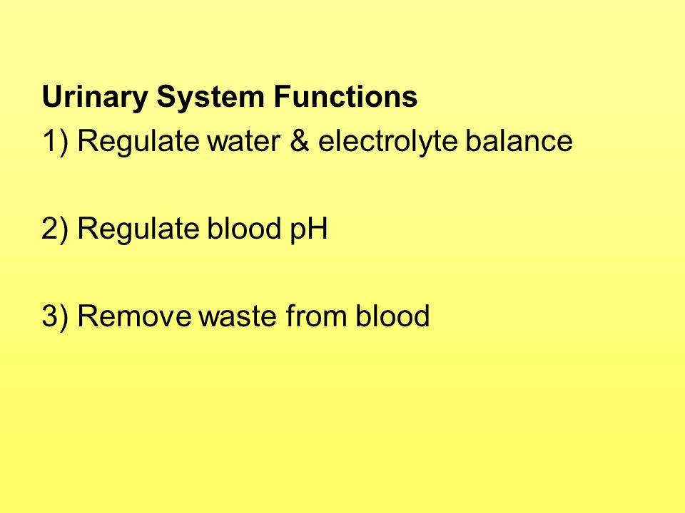 p 904 Urine Formation 1) Glomerular Filtration 2) Tubular Reabsorption & Secretion 3) Water Reabsorption (Conservation)