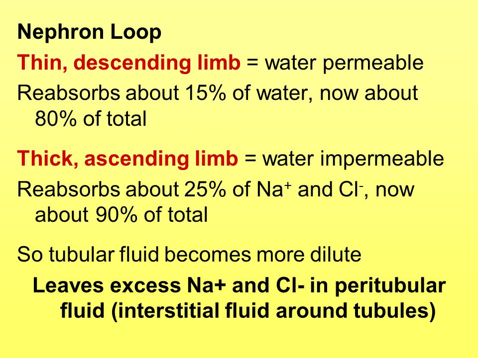 Nephron Loop Thin, descending limb = water permeable Reabsorbs about 15% of water, now about 80% of total Thick, ascending limb = water impermeable Re