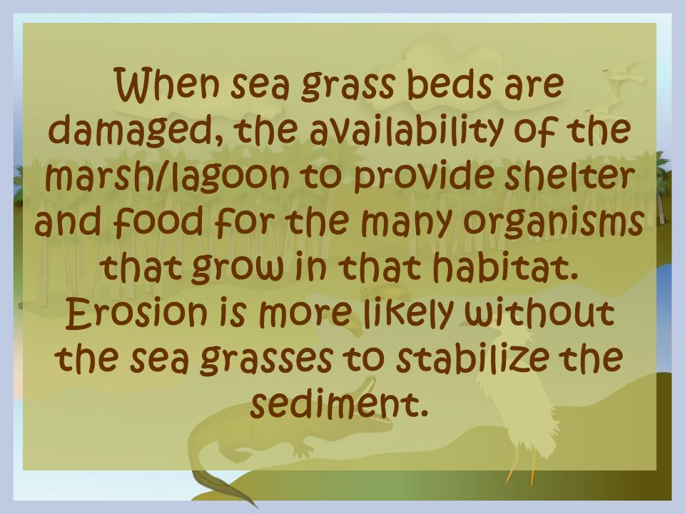 When sea grass beds are damaged, the availability of the marsh/lagoon to provide shelter and food for the many organisms that grow in that habitat. Er