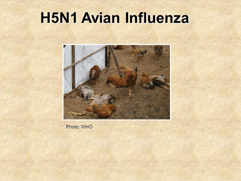 H5N1 Avian Influenza Photo: WHO