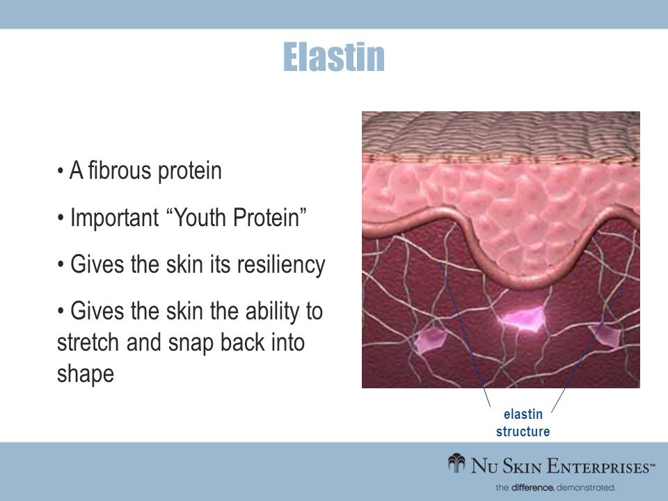elastin structure A fibrous protein Important Youth Protein Gives the skin its resiliency Gives the skin the ability to stretch and snap back into sha