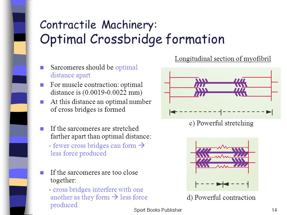 Sport Books Publisher14 Contractile Machinery: Optimal Crossbridge formation Sarcomeres should be optimal distance apart For muscle contraction: optim
