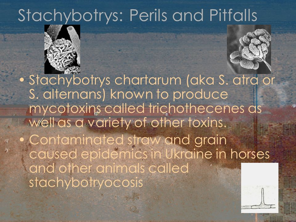 Stachybotrys: Perils and Pitfalls Stachybotrys chartarum (aka S. atra or S. alternans) known to produce mycotoxins called trichothecenes as well as a