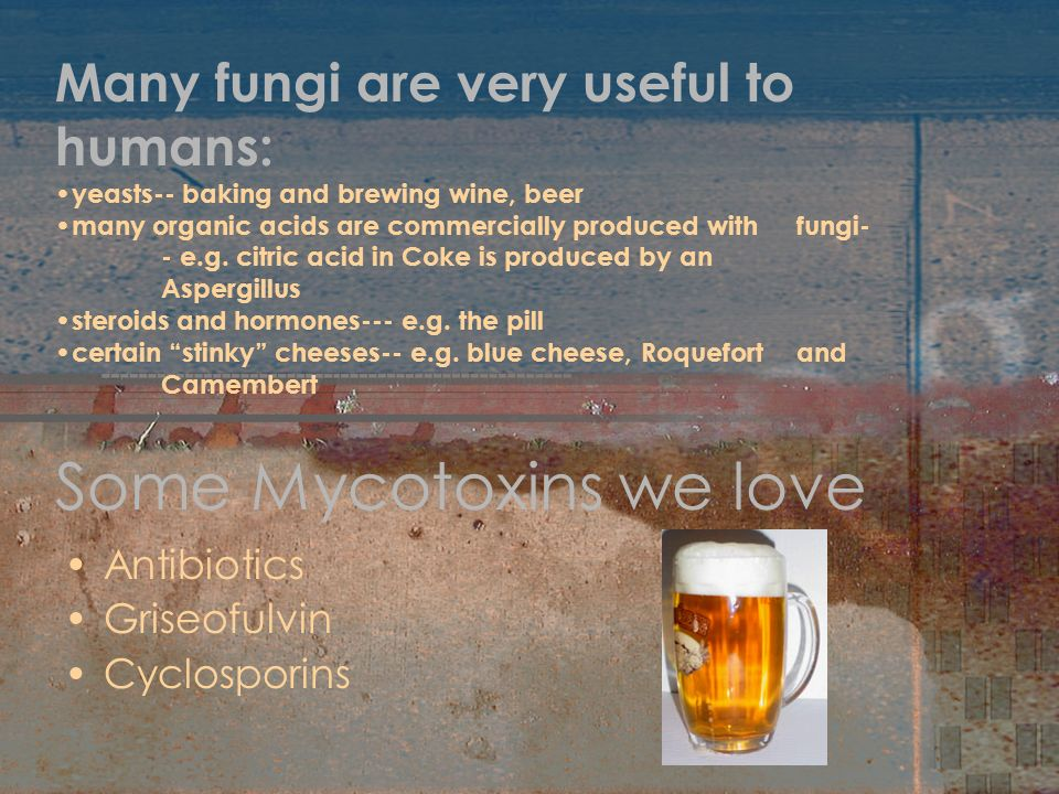 Some Mycotoxins we love Antibiotics Griseofulvin Cyclosporins Many fungi are very useful to humans: yeasts-- baking and brewing wine, beer many organi