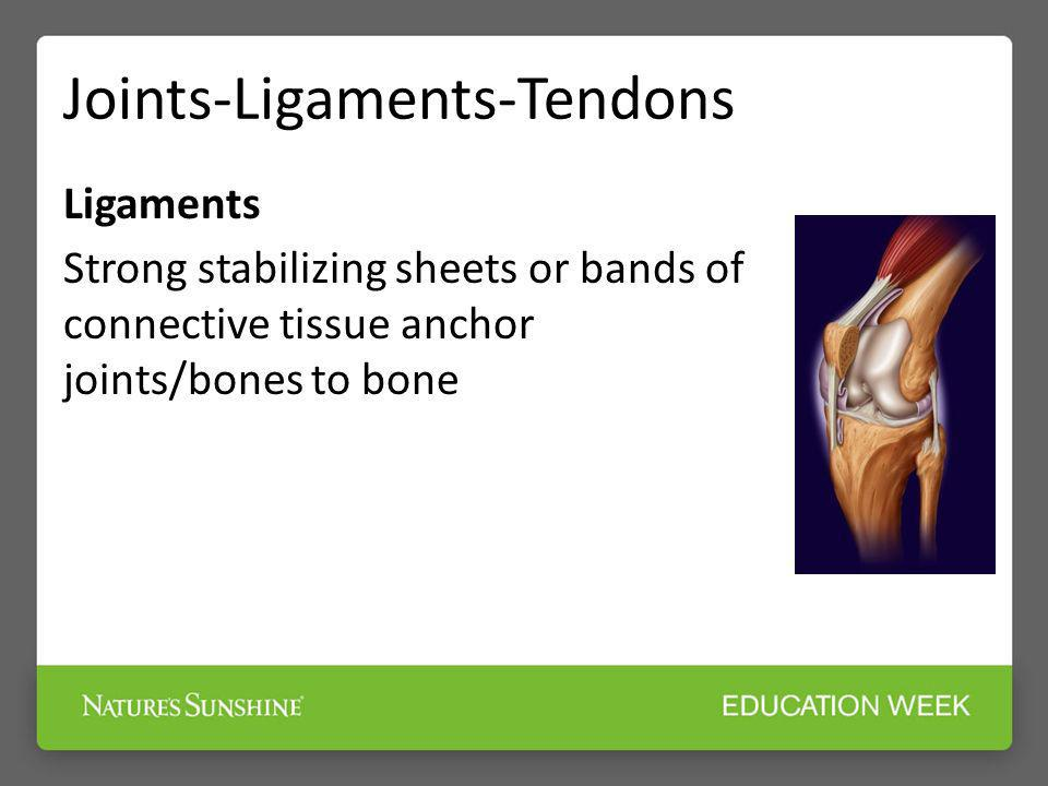 Joints-Ligaments-Tendons Ligaments Strong stabilizing sheets or bands of connective tissue anchor joints/bones to bone