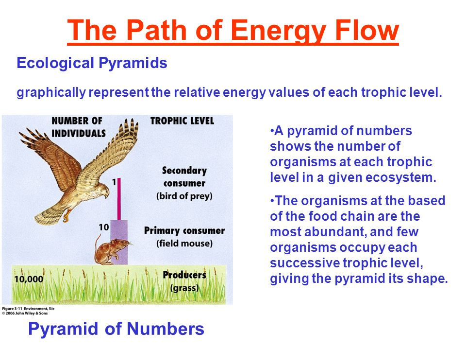 The Path of Energy Flow Ecological Pyramids graphically represent the relative energy values of each trophic level. Pyramid of Numbers A pyramid of nu