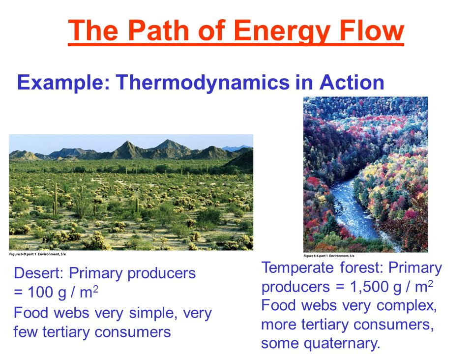 The Path of Energy Flow Example: Thermodynamics in Action Desert: Primary producers = 100 g / m 2 Temperate forest: Primary producers = 1,500 g / m 2