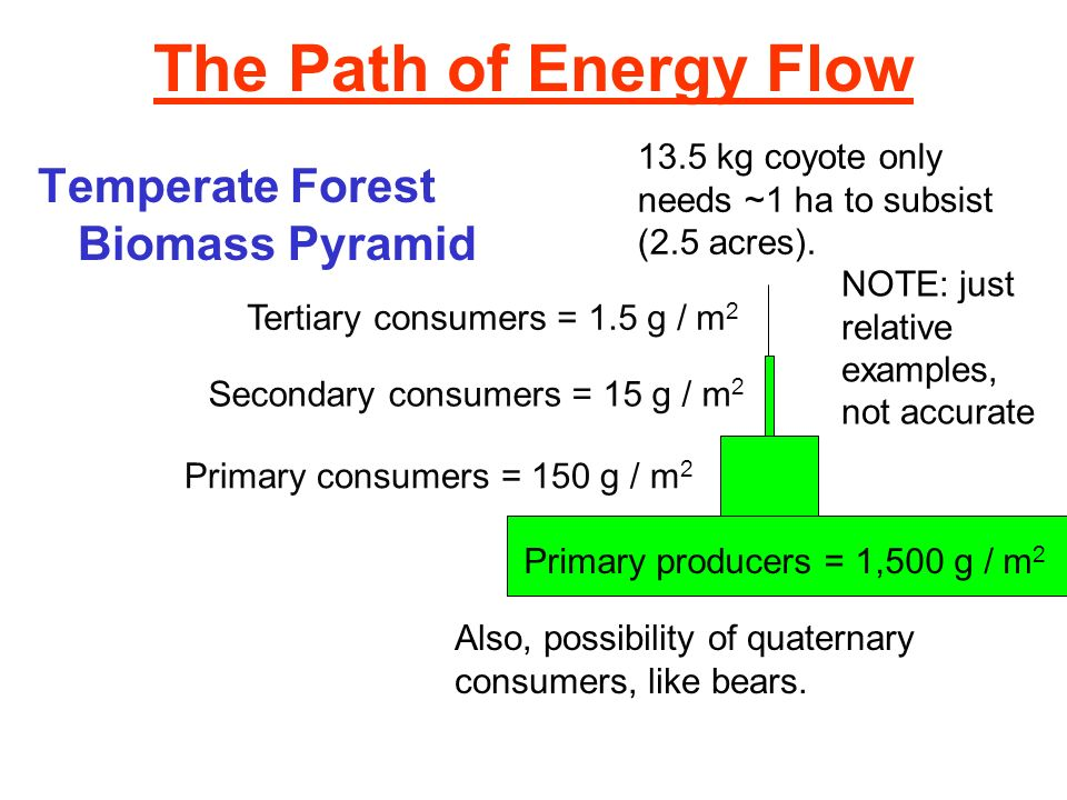 The Path of Energy Flow Temperate Forest Biomass Pyramid Primary producers = 1,500 g / m 2 Primary consumers = 150 g / m 2 Secondary consumers = 15 g