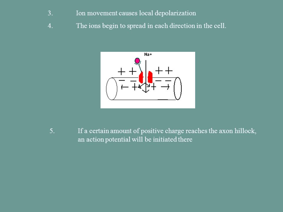 3.Ion movement causes local depolarization 4.The ions begin to spread in each direction in the cell. 5. If a certain amount of positive charge reaches