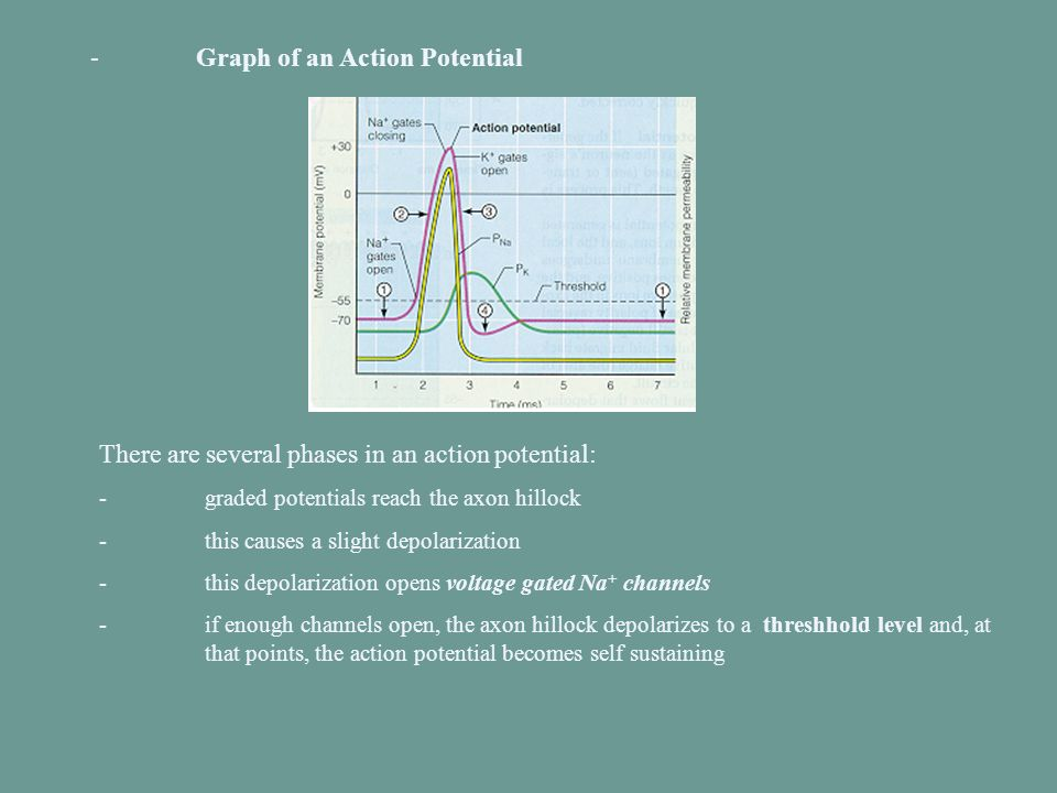 -Graph of an Action Potential There are several phases in an action potential: -graded potentials reach the axon hillock -this causes a slight depolar