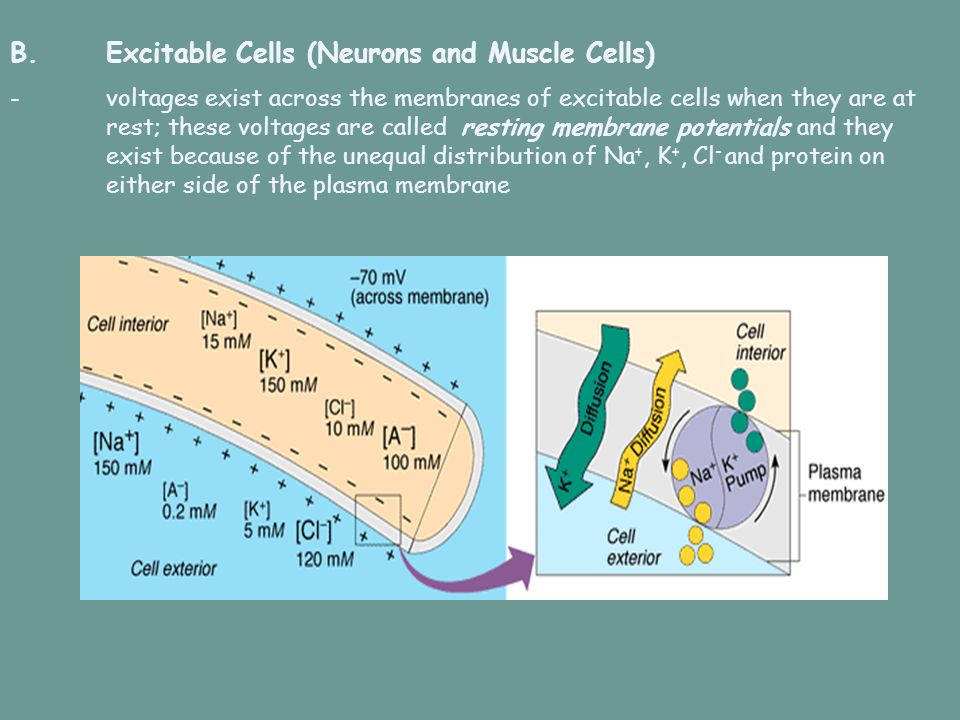 B.Excitable Cells (Neurons and Muscle Cells) -voltages exist across the membranes of excitable cells when they are at rest; these voltages are called