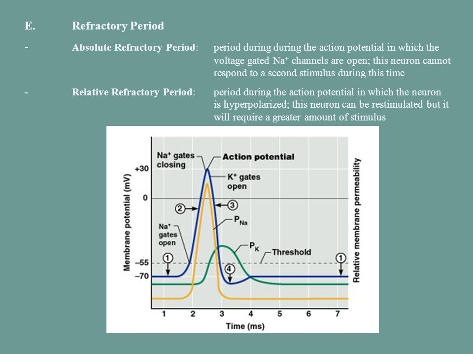 E.Refractory Period - Absolute Refractory Period:period during during the action potential in which the voltage gated Na + channels are open; this neu